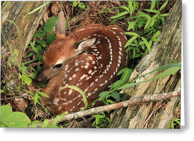 Greeting Card featuring the photograph Fawn by Doug McPherson