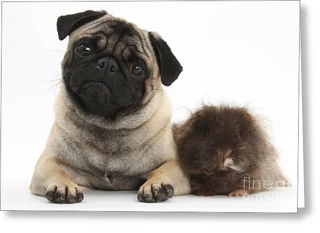 Fawn Pug Dog And Shaggy Guinea Pig Greeting Card