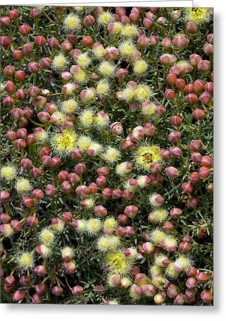 Featherflower (verticordia Brachypoda) Greeting Card by Bob Gibbons