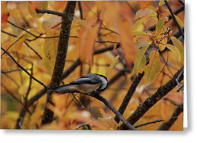 Feeding Chickadee Greeting Card