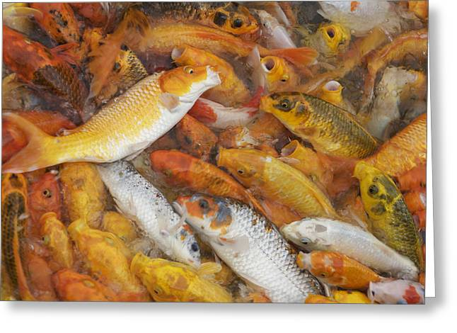 Feeding Frenzy Greeting Card by Christopher Rowlands