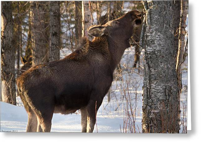 Feeding Young Bull Greeting Card by Kelly Turnage