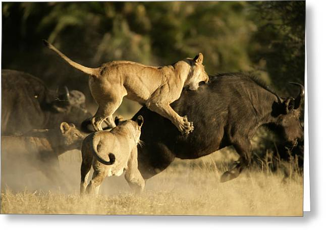 Female African Lions Pounce On An Greeting Card by Beverly Joubert