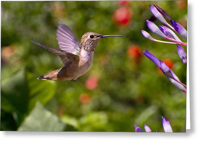 Female Allen's Hummingbird Greeting Card by Mike Herdering