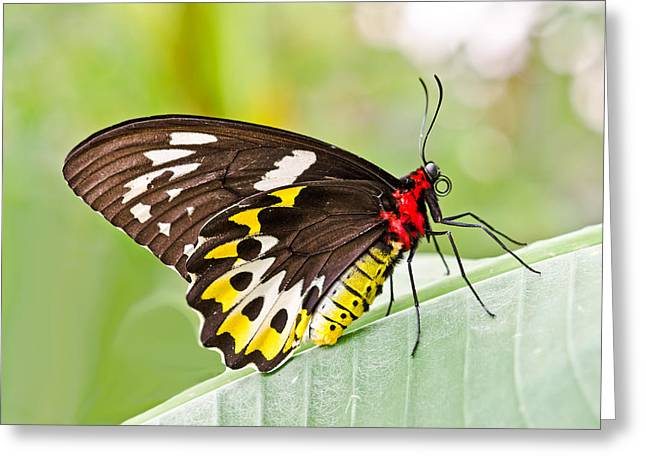 Female Cairns-birdwing Butterfly Greeting Card