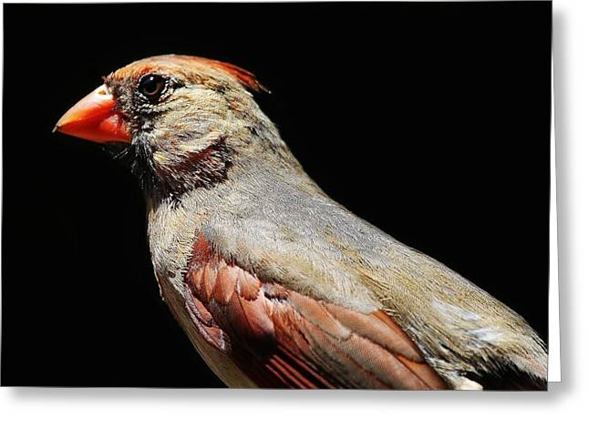 Female Cardinal Greeting Card by Paulette Thomas