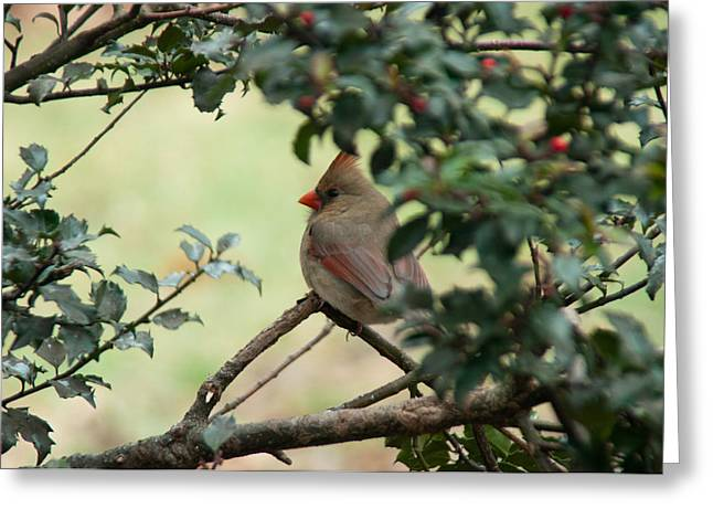 Female Cardinal Greeting Card by Ron Smith