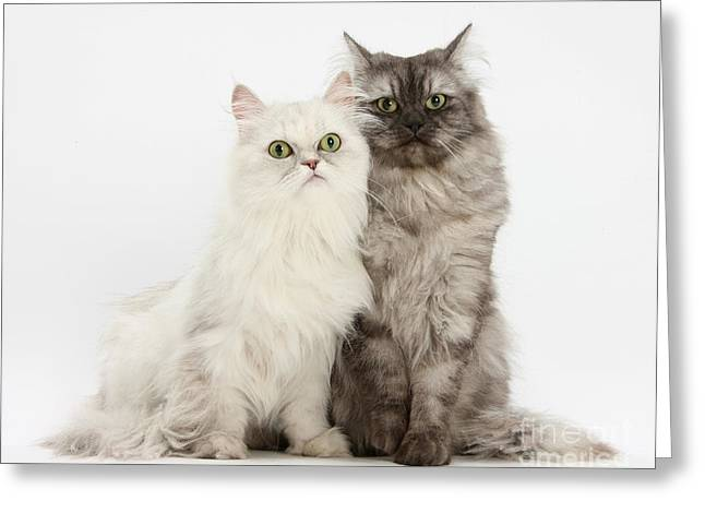 Female Cats Greeting Card by Mark Taylor