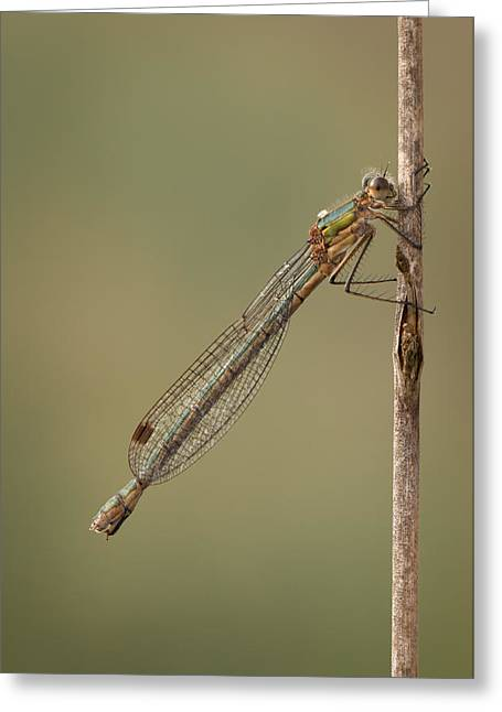 Female Emerald Damselfly Greeting Card by Andy Astbury