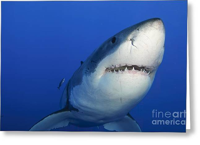 Female Great White Shark, Guadalupe Greeting Card by Todd Winner