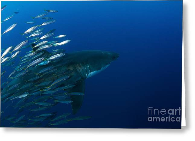 Female Great White Shark With A School Greeting Card by Todd Winner