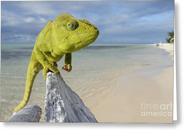 Female Oustalet's Chameleon Greeting Card by Alex Rosenfield and Photo Researchers