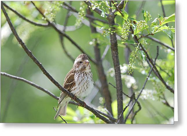 Female Purple Finch Greeting Card