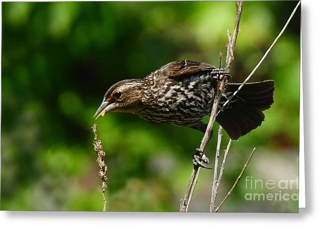 Female Red Wing Blackbird Greeting Card