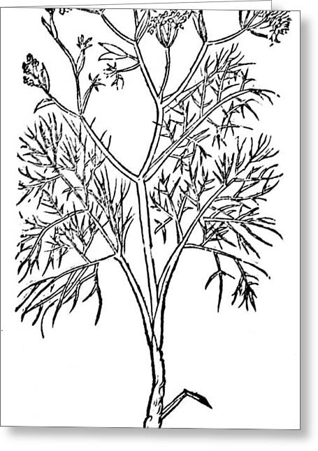 Fennel, Alchemy Plant Greeting Card by Science Source