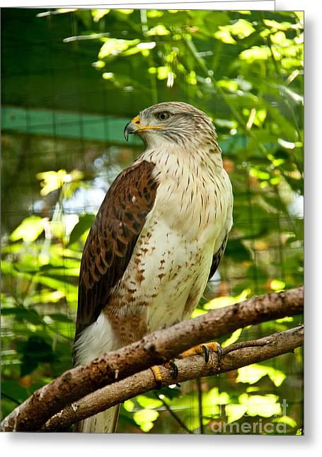 Ferruginous Hawk Greeting Card by Rachel Duchesne