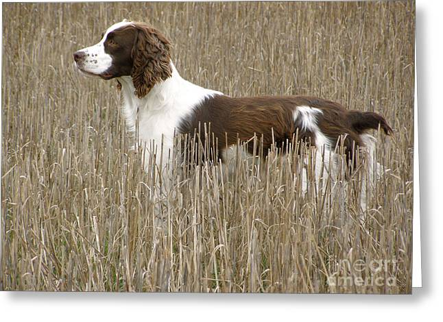 Field Bred Springer Spaniel Greeting Card