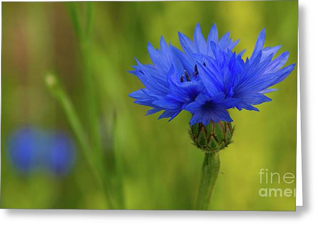 Field Flower - Blue-bottle Greeting Card