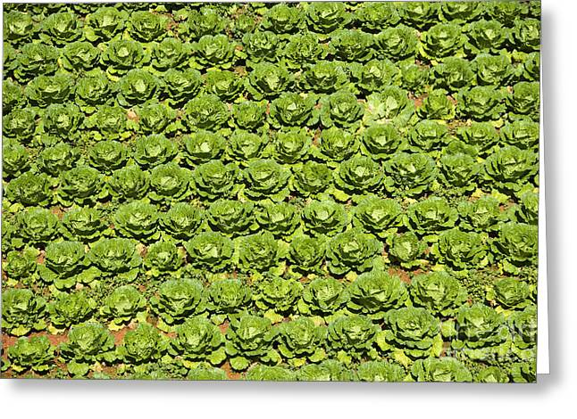 Field Of Cabbage Greeting Card by David Buffington