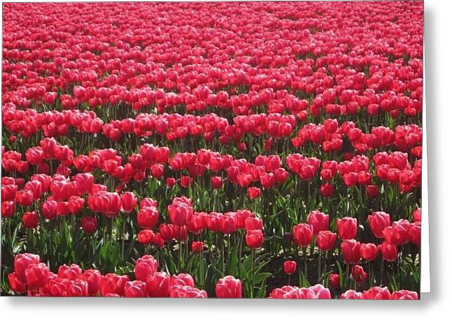 Greeting Card featuring the photograph Field Of Pink Tulips In Skagit County by Karen Molenaar Terrell