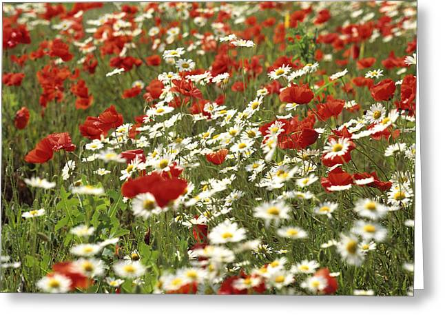 Field Of Poppies And Daisies In Limagne  Auvergne. France Greeting Card