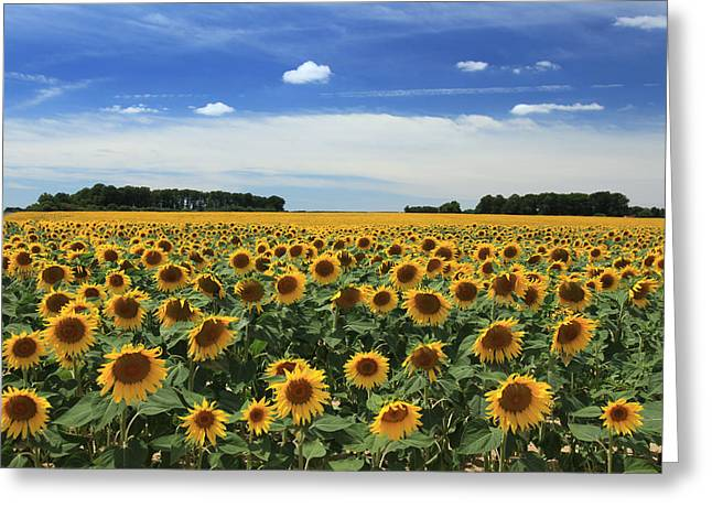 Field Of Sunflowers France Greeting Card by Pauline Cutler