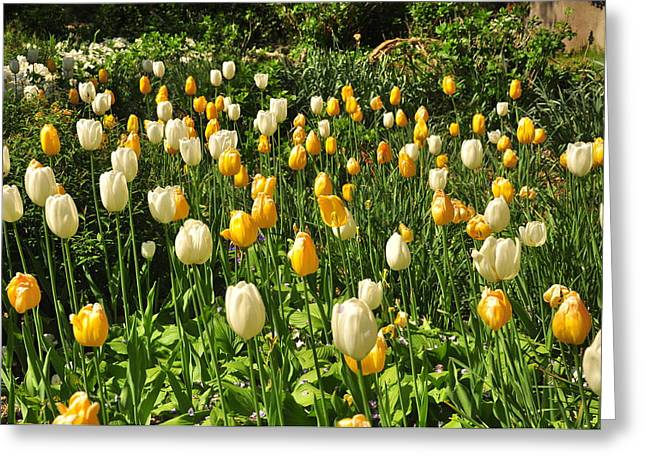 Greeting Card featuring the photograph Field Of Tulips by Helen Haw