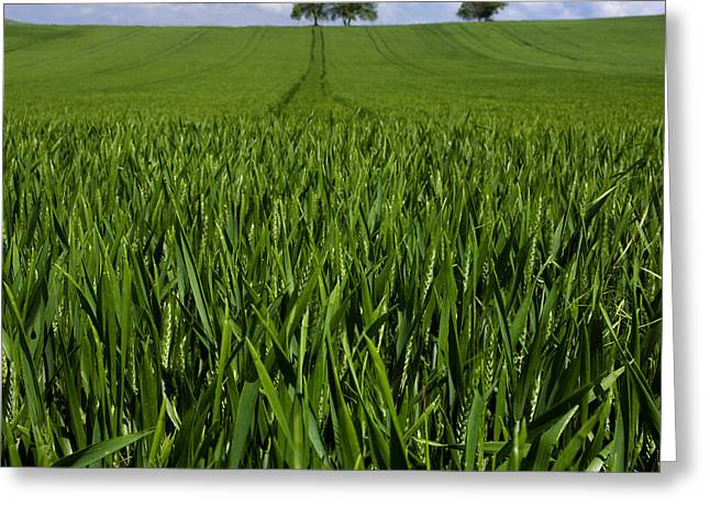 Field Of Wheat. Auvergne. France. Europe Greeting Card by Bernard Jaubert