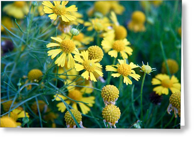 Field Of  Yellow Daisies  Greeting Card