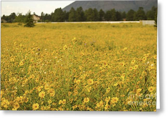 Field Of Yellow Daisy's Greeting Card by Donna Greene