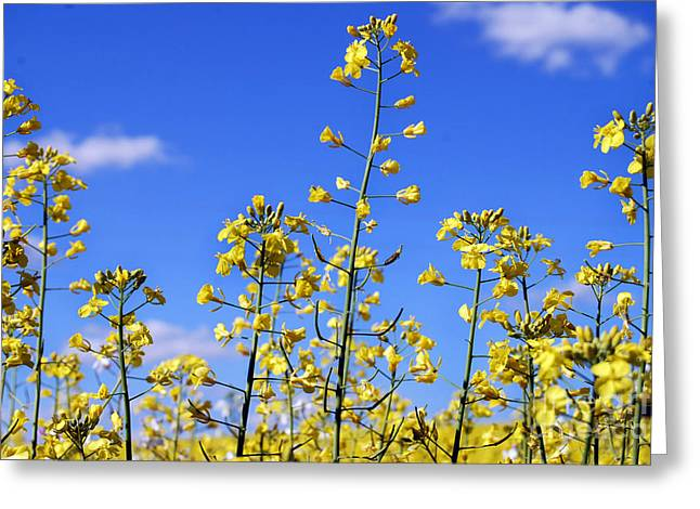 Greeting Card featuring the photograph Field Of Yellow Mustard Flowers by Alexandra Jordankova
