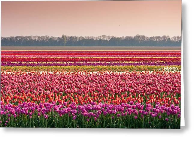 Field With Tulips Greeting Card by Hans Engbers