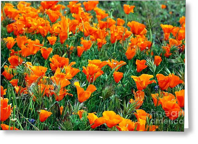 Greeting Card featuring the photograph Fields Of Poppies by Johanne Peale