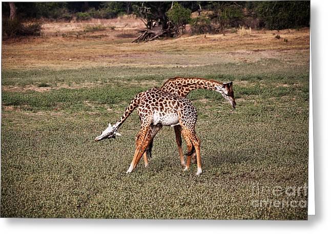 Fighting Giraffe Greeting Card