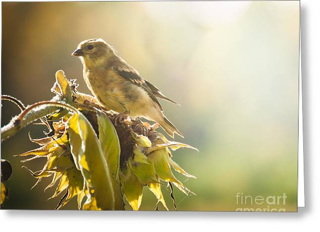 Finch Aglow Greeting Card by Cheryl Baxter