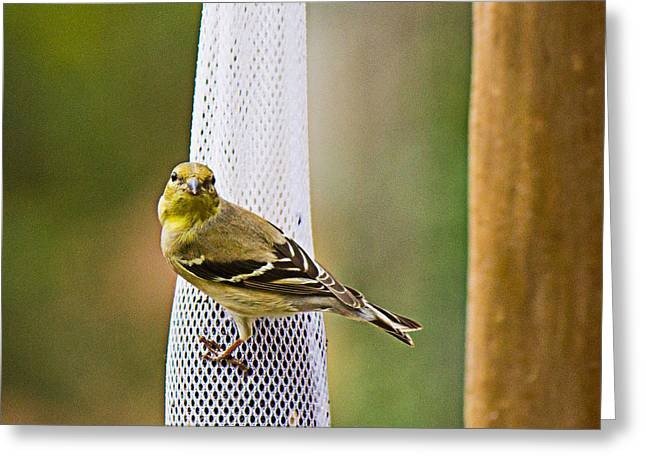 Finch Greeting Card by Barry Jones