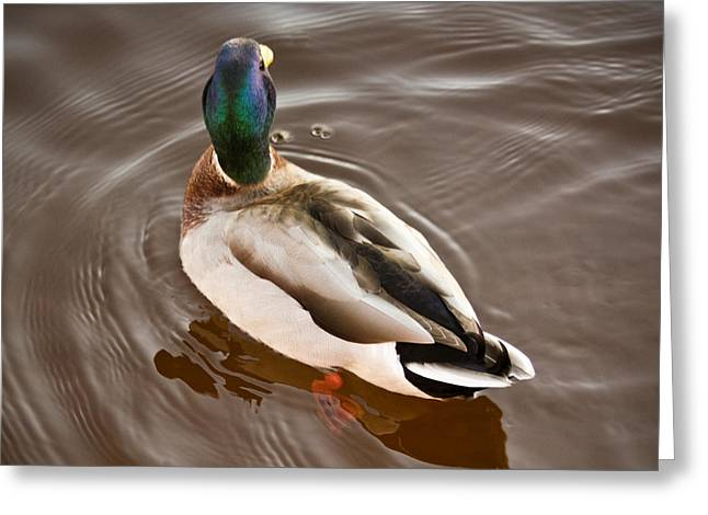 Greeting Card featuring the photograph Fine Feathered Mallard Duck by Ann Murphy