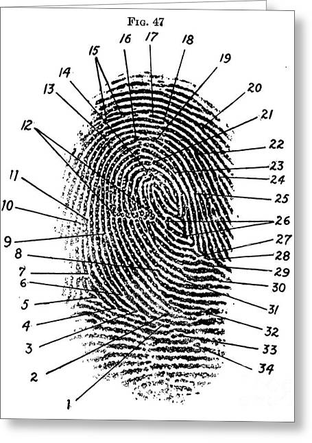Fingerprint Diagram, 1940 Greeting Card by Science Source