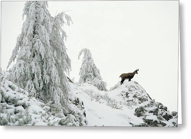 Fir Trees And Chamois In Snow Greeting Card
