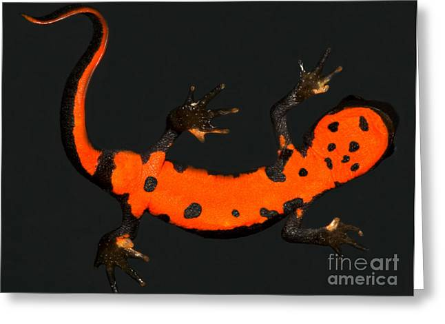 Fire Belly Newt Greeting Card by Dante Fenolio