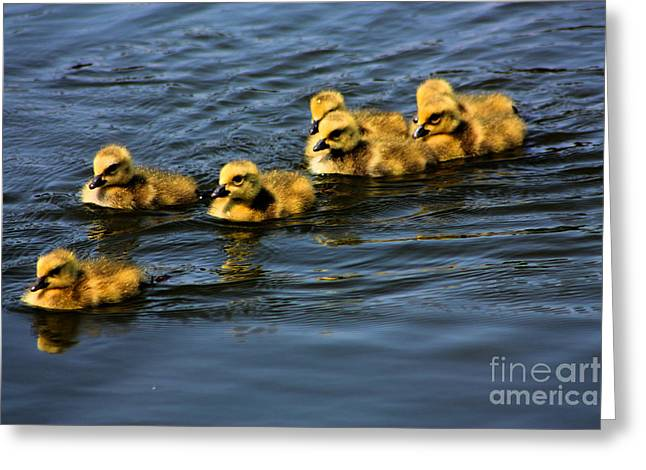 First Swim Baby Geese Greeting Card by Nick Gustafson