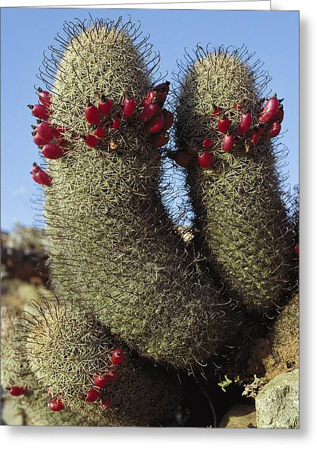 Fishhook Cactus Mammillaria Sp Blooming Greeting Card