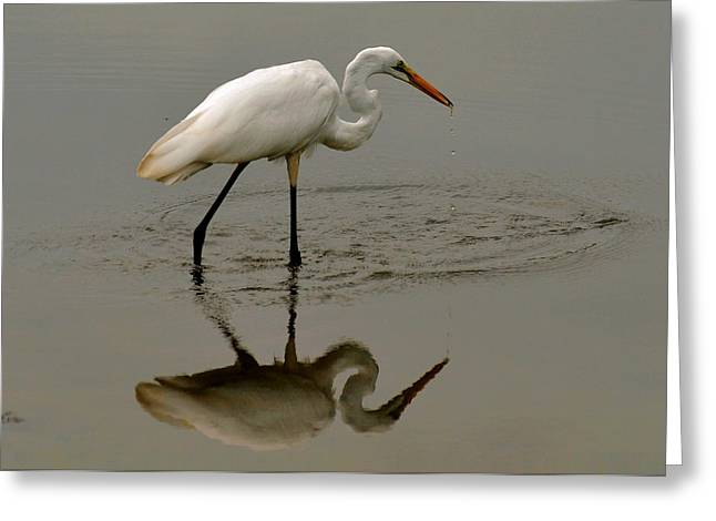 Fishing Egret With Droplets - C3282q Greeting Card by Paul Lyndon Phillips