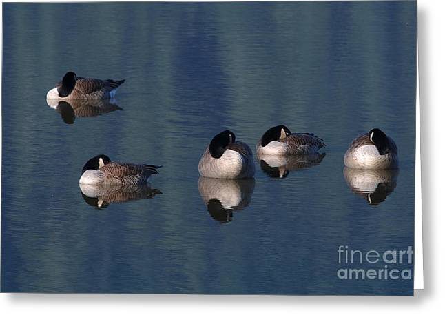 Five Geese Napping Greeting Card