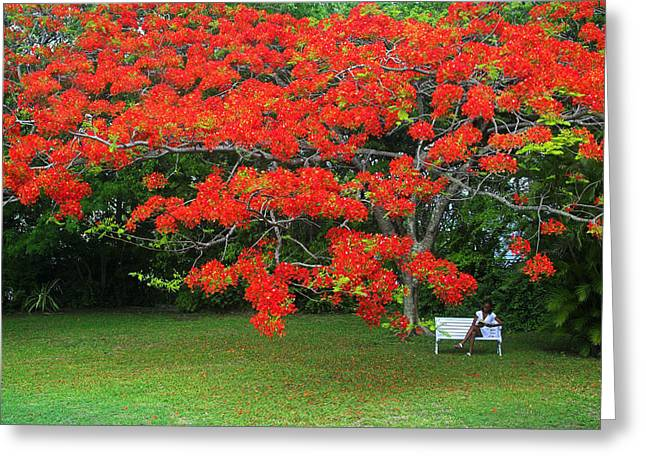 Greeting Card featuring the photograph Flamboyant Tree- St Lucia by Chester Williams