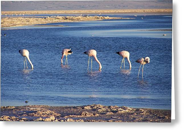 Flamencos At The Atacama Salar Greeting Card
