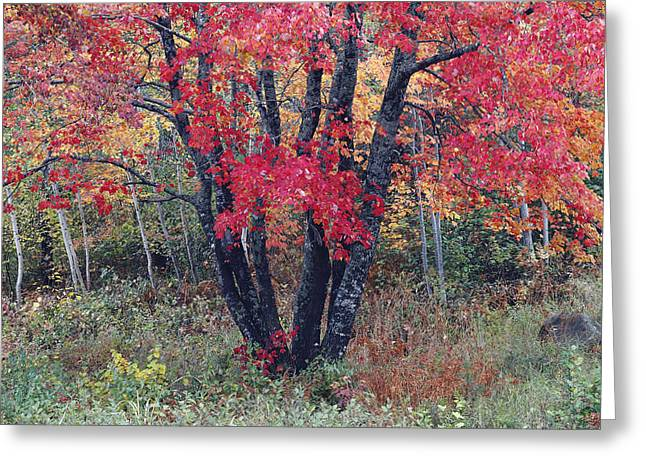Flaming Autumn Maple Greeting Card by Scott Leslie
