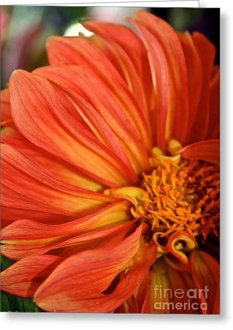 Flaming Dahlia  Greeting Card by Susan Herber