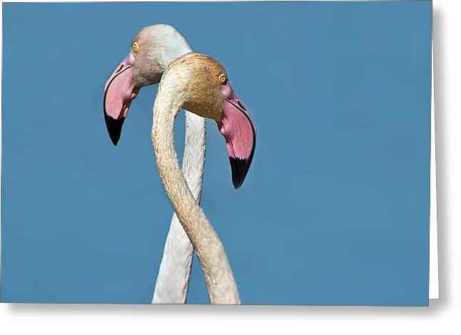 Flamingo Couple Greeting Card by CR  Courson
