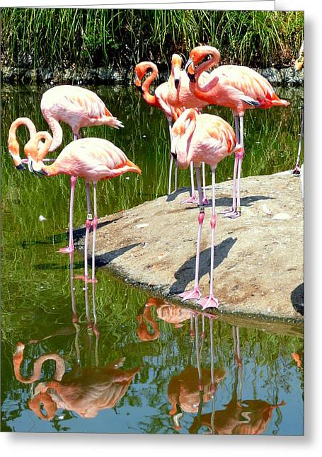 Flamingo Reflections Greeting Card by Cindy Wright